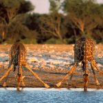 giraffes-for-website